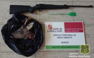 Denunciado un cazador en Humada por abatir a un corzo y no precintarlo