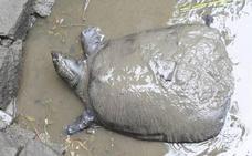 El Yangtsé pierde a su última tortuga de caparazón blando