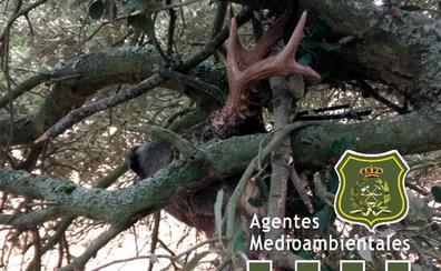 Denuncian a un cazador que intentaba esconder un trofeo de corzo «que no era de su agrado»