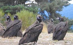 La población de buitre leonado crece en Castilla y León, se estabiliza el águila real y caen alimoche y halcón peregrino