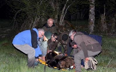 Rescatan a un oso herido en El Bierzo y lo trasladan al Centro de Recuperación de Cantabria
