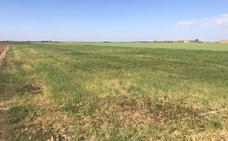 Los cultivos de secano del sur de Burgos se reducirán un 40% por la sequía