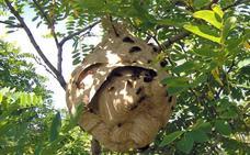 La Junta autoriza la instalación de trampas contra la invasión de la avispa asiática