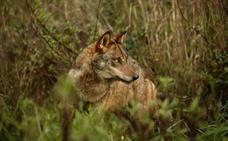 El Gobierno extiende la protección a todas las poblaciones de lobo ibérico al sur del Duero