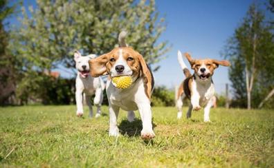 Los perros pueden detectar el cáncer de pulmón con el olfato