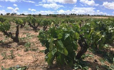 Ribera del Duero vive una campaña más seca y con escasa incidencia de heladas