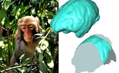 El grupo de Paleoneurología del CENIEH analiza la anatomía parietal de los monos del viejo mundo