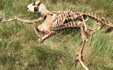 COAG denuncia los «continuos» ataques de lobos que sufren los ganaderos de las Merindades y Demanda