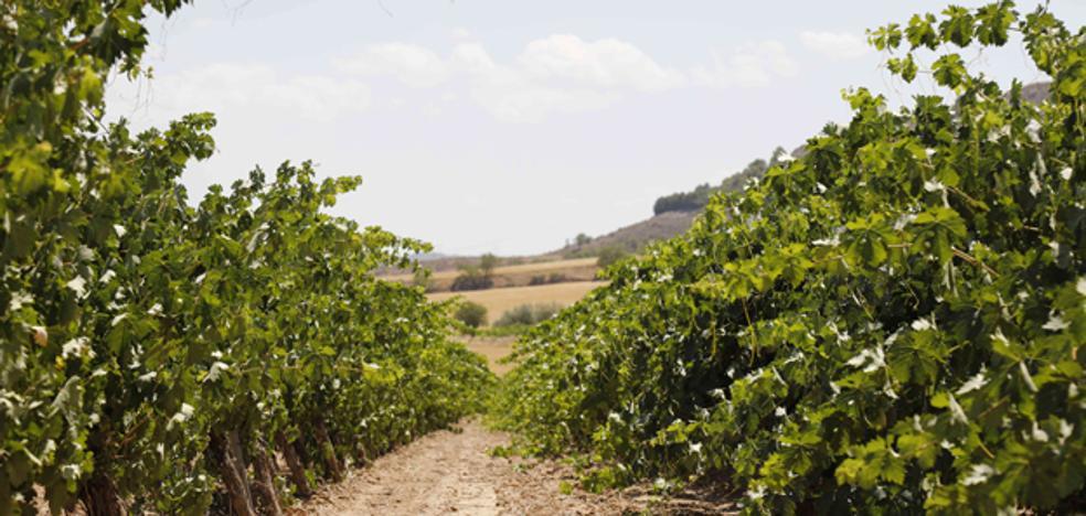 Ribera del Duero presenta una maduración con cinco días de retraso
