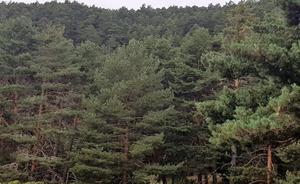 Pinares, la comarca burgalesa que tiene el secreto para prevenir los incendios forestales