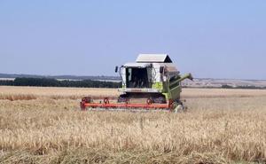 La sequía y las altas temperaturas provocan una reducción del 25% de la cosecha de cereal