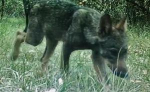El lobezno recogido en Burgos, herido y desnutrido, está en recuperación para ser reintroducido en su manada