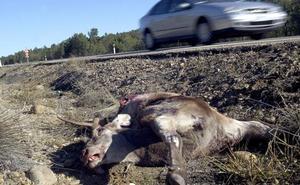 Cómo prevenir y actuar ante el atropello de animales