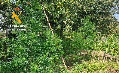 La Guardia Civil incauta en Valle de Mena una plantación de marihuana con 14 plantas y un peso de 15 kilogramos