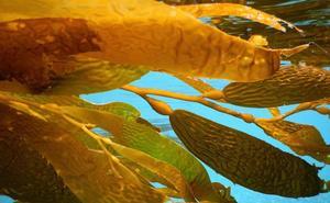 Un estudio de la UBU indica que las microalgas pueden ser utilizadas como biofertilizantes