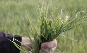 Agroseguro ya ha abonado 5,68 millones de las indemnizaciones en cereales de invierno y leguminosas en la provincia de Burgos