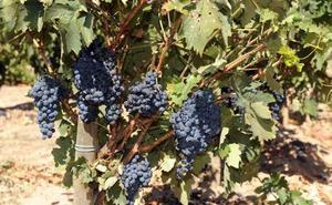 El viñedo de Ribera del Duero evita por el momento los daños de las tormentas