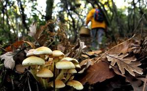 Arranca una campaña micológica con buenas perspectivas en la comarca de Pinares