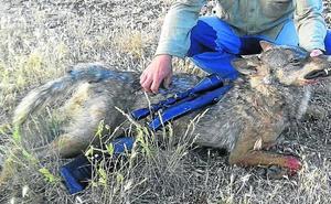 El Tribunal Europeo acepta la caza del lobo si no hay alternativas